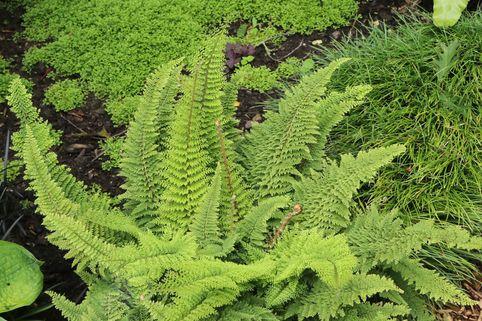 Flaumfeder-Filigranfarn 'Plumosum Densum' - Polystichum setiferum 'Plumosum Densum'