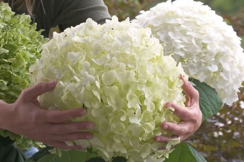 Freiland-Hortensie Proven Winners ® 'Incrediball' ® / 'Strong Annabelle' ® - Hydrangea arborescens Proven Winners ® 'Incrediball' ® / 'Strong Annabelle' ®