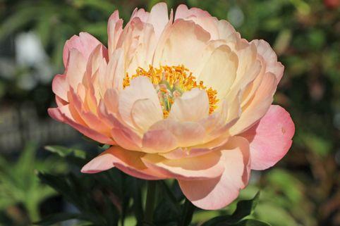 Frühblühende Pfingstrose 'Coral Sunset' - Paeonia x hybrida 'Coral Sunset'