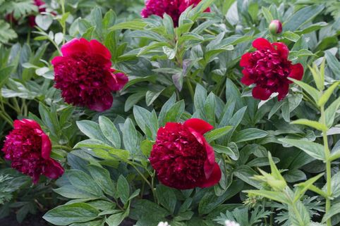 Asiatische Pfingstrose 'Red Charme' - Paeonia lactiflora 'Red Charme'