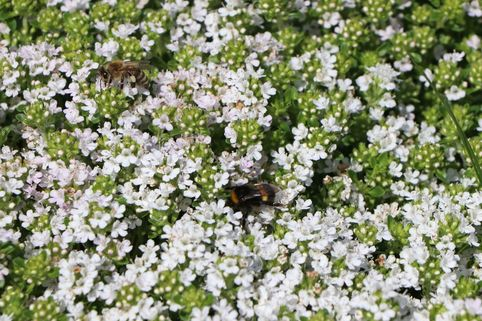 Frühblühender Thymian 'Albiflorus' - Thymus praecox 'Albiflorus'