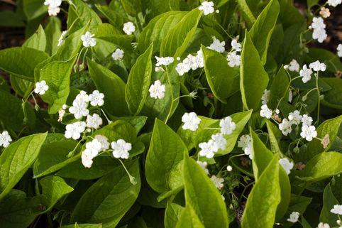 Frühlings Gedenkemein 'Alba' - Omphalodes verna 'Alba'
