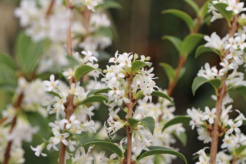 Frühlingsduftblüte - Osmanthus burkwoodii
