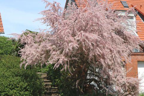 Frühlingstamariske / Kleinblütige Tamariske - Tamarix parviflora