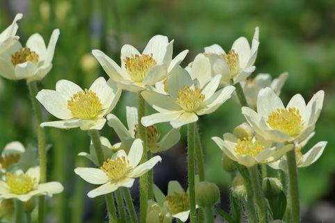 Frühsommer-Windröschen 'Annabella White' - Anemone multifida 'Annabella White'