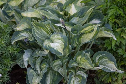 Funkie 'Ghostmaster' - Hosta x cultorum 'Ghostmaster'