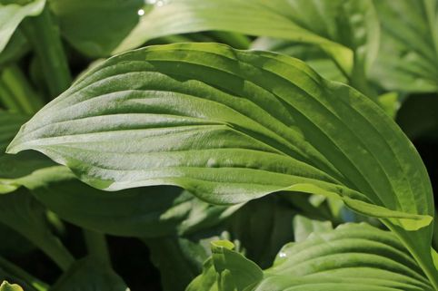 Funkie 'Honeybells' - Hosta plantaginea 'Honeybells'