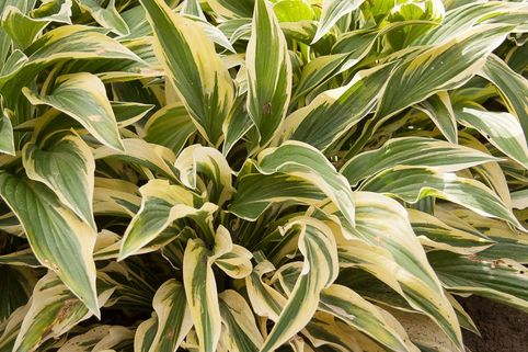 Funkie 'Lakeside Dragonfly' - Hosta x cultorum 'Lakeside Dragonfly'