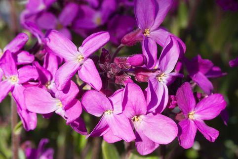 Gänsekresse 'Frühlingszauber' - Arabis blepharophylla 'Frühlingszauber'