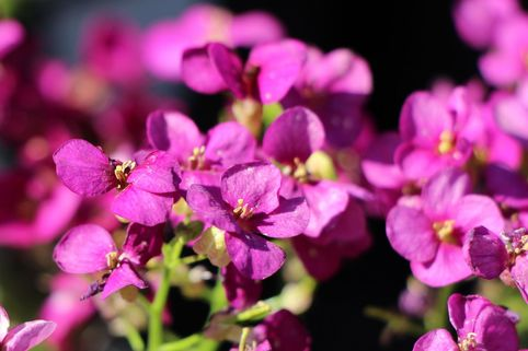 Gänsekresse 'Little Treasure Deep Rose' - Arabis caucasica 'Little Treasure Deep Rose'