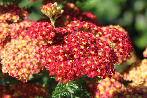 Schafgarbe 'Summer Fruits Carmine' - Achillea millefolium 'Summer Fruits Carmine'