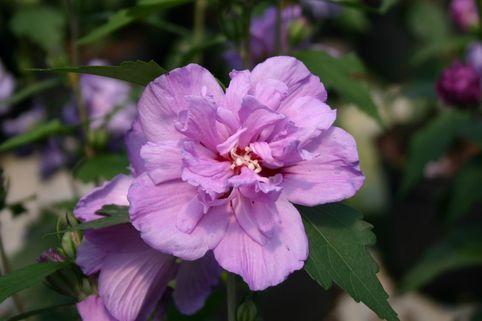 Garteneibisch 'Ardens' - Hibiscus syriacus 'Ardens'