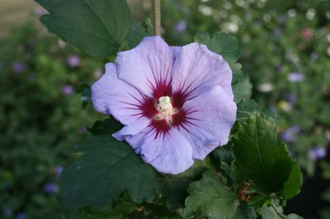 Garteneibisch 'Coelestis' - Hibiscus syriacus 'Coelestis'