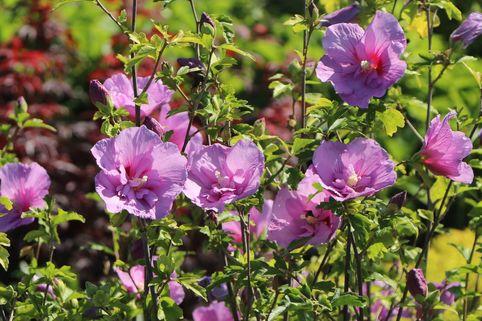 Garteneibisch 'Lavender Chiffon' ® - Hibiscus syriacus 'Lavender Chiffon' ®