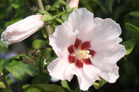 Garteneibisch 'Mathilda' - Hibiscus syriacus 'Mathilda'