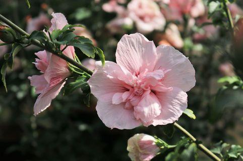 Garteneibisch 'Pink Chiffon' ® - Hibiscus syriacus 'Pink Chiffon' ®