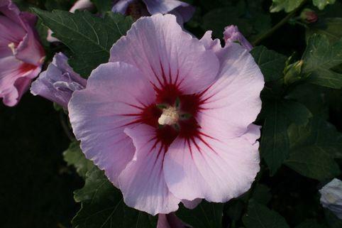 Garteneibisch 'Pink Flirt' - Hibiscus syriacus 'Pink Flirt'