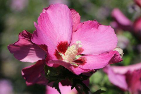 Garteneibisch 'Pink Giant' ® - Hibiscus syriacus 'Pink Giant' ®