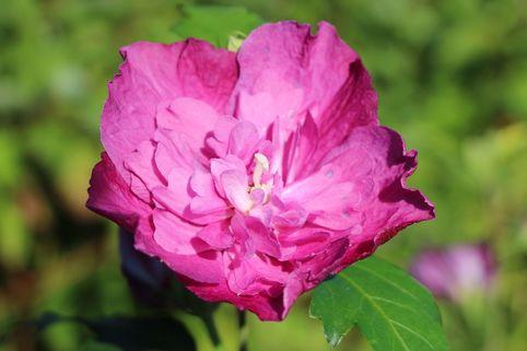 Garteneibisch 'Purple Ruffles' ® - Hibiscus syriacus 'Purple Ruffles' ®