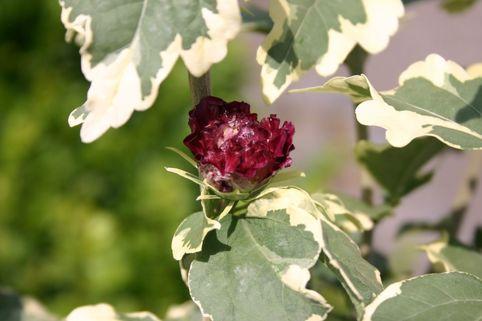 Garteneibisch 'Purpureus Variegatus' - Hibiscus 'Purpureus Variegatus'