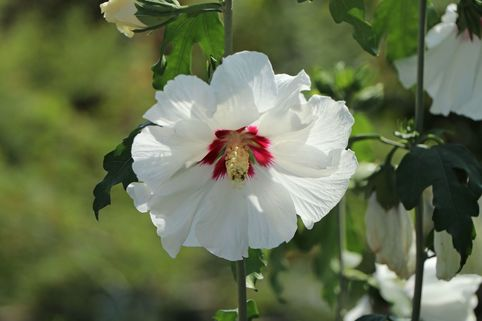 Garteneibisch 'Red Heart' - Hibiscus syriacus 'Red Heart'