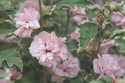 Garteneibisch / Roseneibisch 'Sugar Tip ®' Rose of Sharon - Hibiscus syriacus 'Sugar Tip ®' Rose of Sharon