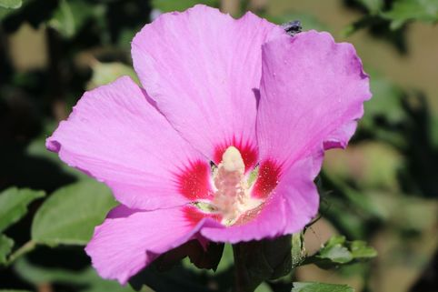 Garteneibisch 'Russian Violet' ® - Hibiscus syriacus 'Russian Violet' ®