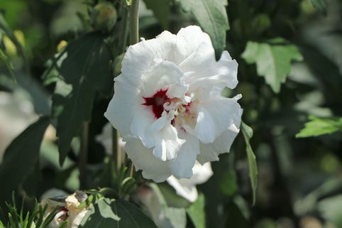 Garteneibisch 'Speciosus' - Hibiscus syriacus 'Speciosus'