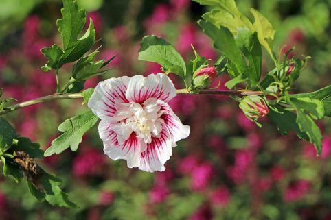 Garteneibisch 'Starbust Chiffon' - Hibiscus syriacus 'Starbust Chiffon'
