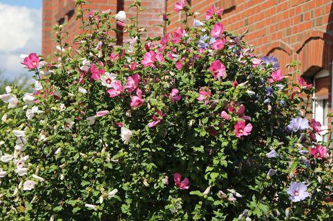 Garteneibisch 'Tricolor' - Hibiscus syringa 'Tricolor' - 3 verschiedene Blüten