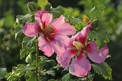 Garteneibisch 'Walberton's Rose Moon' - Hibiscus syriacus 'Walberton's Rose Moon'