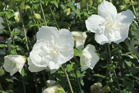 Garteneibisch 'White Chiffon' ® - Hibiscus syriacus 'White Chiffon' ®