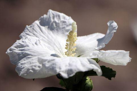 Garteneibisch 'William R. Smith' - Hibiscus syriacus 'William R. Smith'