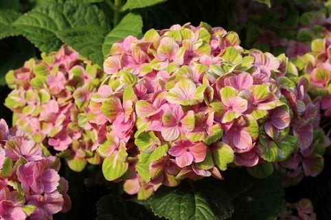 Ballhortensie 'Magical Corral' ® - Hydrangea macrophylla 'Magical Coral' ® - rosa