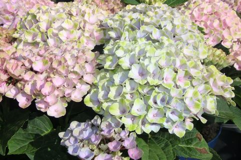 Ballhortensie 'Magical Revolution' ® - Hydrangea macrophylla 'Magical Revolution' ®