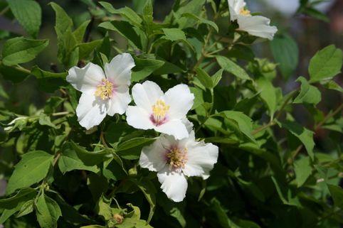Gartenjasmin 'Belle Etoile' - Philadelphus 'Belle Etoile'