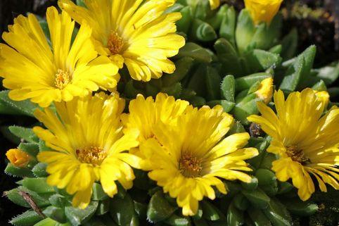 Gedrängte Mittagsblume - Delosperma congestum