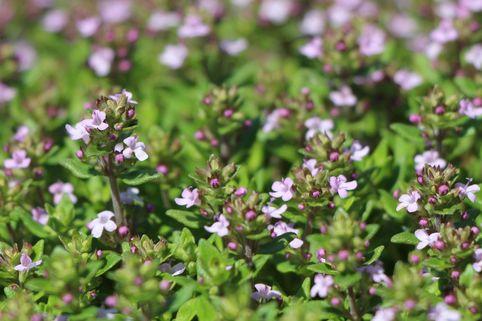 Gedrungener Thymian 'Compactus' - Thymus vulgaris 'Compactus'