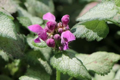 Gefleckte Taubnessel 'Red Nancy' - Lamium maculatum 'Red Nancy'