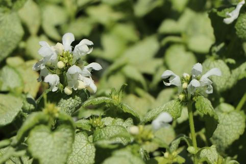 Gefleckte Taubnessel 'White Nancy' - Lamium maculatum 'White Nancy'
