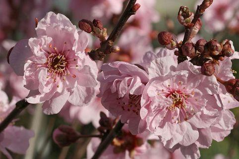 Gefülltblühende Blutpflaume - Prunus blireana