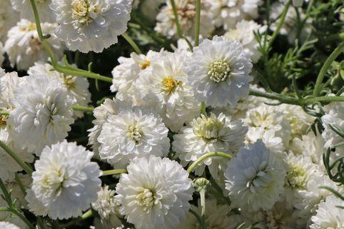 Gefülltblühende Scheinkamille 'Plenum' - Chamaemelum nobile 'Plenum'