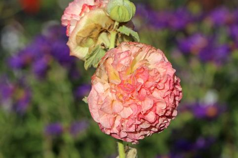 Gefülltblühende Stockrose 'Pleniflora Chaters Apricot' - Alcea rosea 'Pleniflora Chaters Apricot'