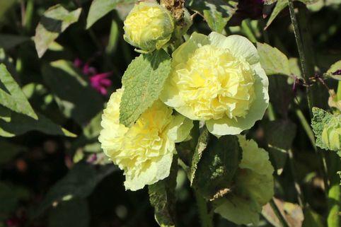 Gefülltblühende Stockrose 'Pleniflora' (Gelb) - Alcea rosea 'Pleniflora' (Gelb)