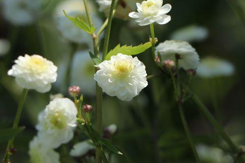 Gefülltblühender Hahnenfuß 'Pleniflorus' - Ranunculus aconitifolius 'Pleniflorus'