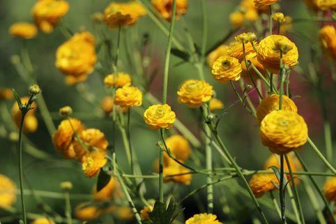 Gefülltblühender Scharfer Hahnenfuß 'Multiplex' - Ranunculus acris 'Multiplex'