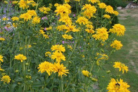 Gefülltblühender Sonnenhut 'Goldquelle' - Rudbeckia laciniata 'Goldquelle'