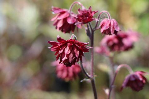 Gefüllte Akelei 'Ruby Port' - Aquilegia vulgaris 'Ruby Port'