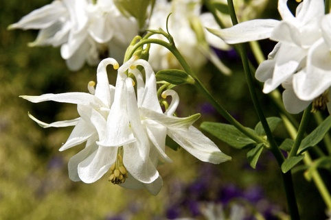 Gefüllte Akelei 'Winky White and White' - Aquilegia vulgaris 'Winky White and White'