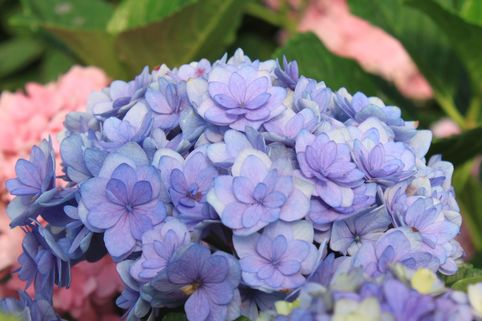 Gefüllte Ballhortensie You & Me 'Together' ® - blau - Hydrangea macrophylla You & Me 'Together' ® - blau